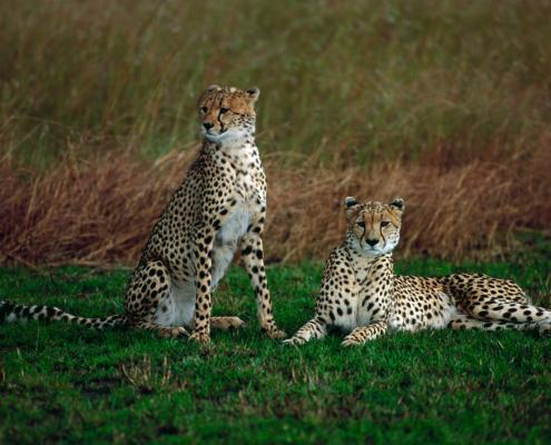 Zwei junge Geparden, Masai Mara