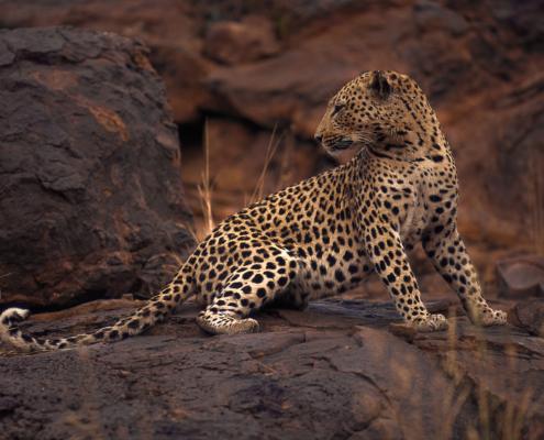 Leopard, Namibia